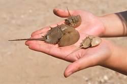 保育灘地上活化石  金門鱟可望到嘉義放流
