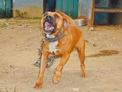 比特犬攻擊頻傳 農委會擬禁養