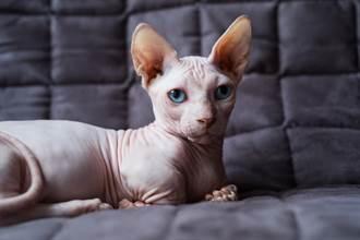 無毛失明貓「雙眼剩窟窿」好駭人 走路模樣眾人驚呼