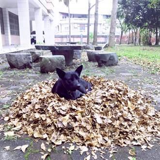 古坑國中流浪犬送領養 一隻逃回30公里遠校園一隻失聯