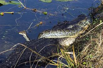 蟒蛇硬吞巨鱷 X光片曝光「骨頭7天就化了」