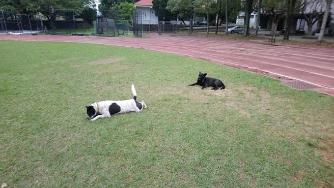 在雲林縣古坑國中生活4年的流浪犬小白、小黑,日前被校方送給認養家庭,第一天就雙雙脫逃,小白獨自走回古坑鄉,小黑失聯中。(古坑國中老師提供/周麗蘭雲林傳真)