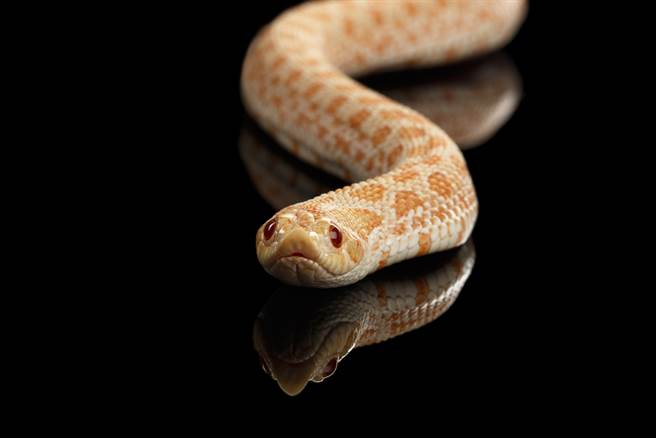 寵物蛇「生啃尾巴」噴血仍不放 內行人悲曝真相(示意圖/達志影像)