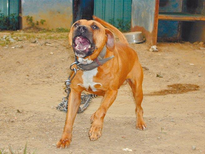 外表憨厚的比特犬,抓狂起來氣勢嚇人。(本報資料照片)