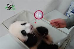 大貓熊「圓寶」終於聽得見了  好奇追著聲音呆萌狂爬