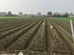 高麗菜種苗超種亮紅燈 台南市府提醒農民勿搶種