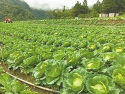 高麗菜超種 直逼600萬株