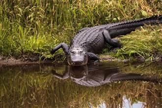 鱷魚想上岸曬太陽 「短腿狂蹬」勾不到邊狼狽被沖走