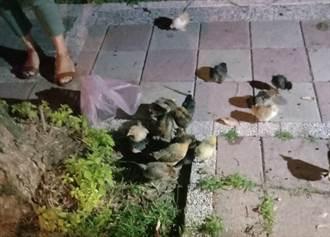 員警路邊撿雞帶回派出所 急尋23隻小雞失主