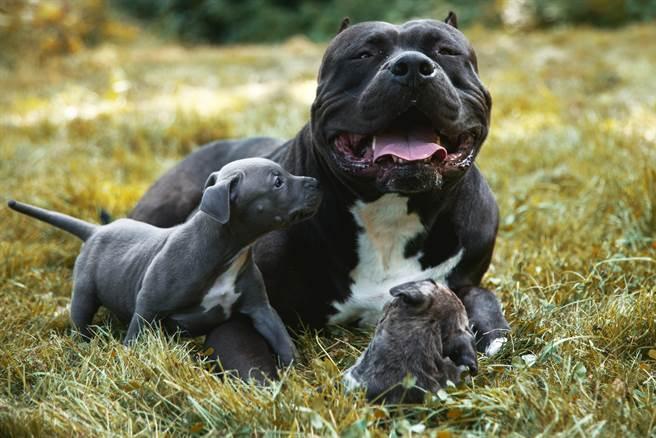 流浪比特犬被救後,仍經常會想逃跑,主人好奇跟蹤發現一窩幼犬(示意圖/達志影像)