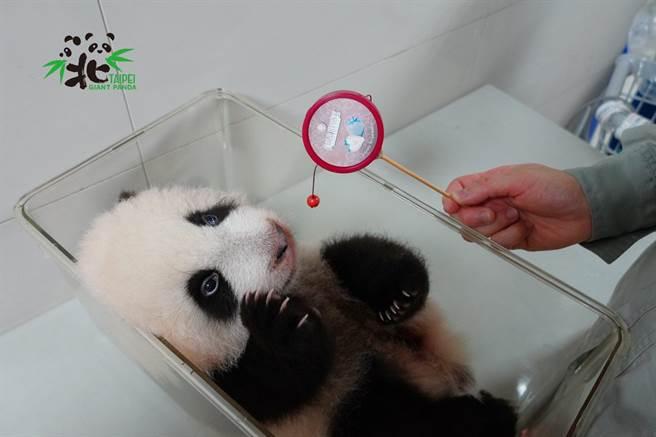 大貓熊寶寶「圓寶」對聲音已有反應(圖/臺北市立動物園提供)