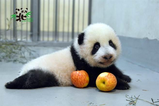 大貓熊寶寶「圓寶」提前籌拍過年賀歲片(圖/臺北市立動物園提供)