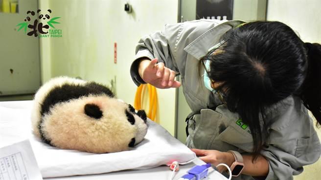 大貓熊寶寶「圓寶」與獸醫師姊姊(圖/臺北市立動物園提供)
