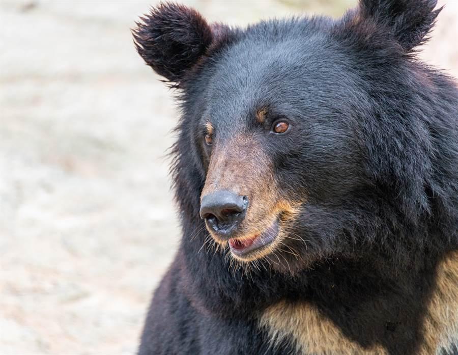 空帳篷附近發現疑似人類遺骸,旁邊甚至有黑熊正在覓食(示意圖/非當事黑熊/達志影像)