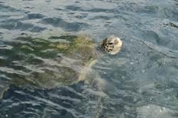 綠蠵龜受困九孔池卻救不出來 15天後自行游回大海