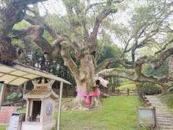楊梅764歲樟樹 列桃園老樹保護