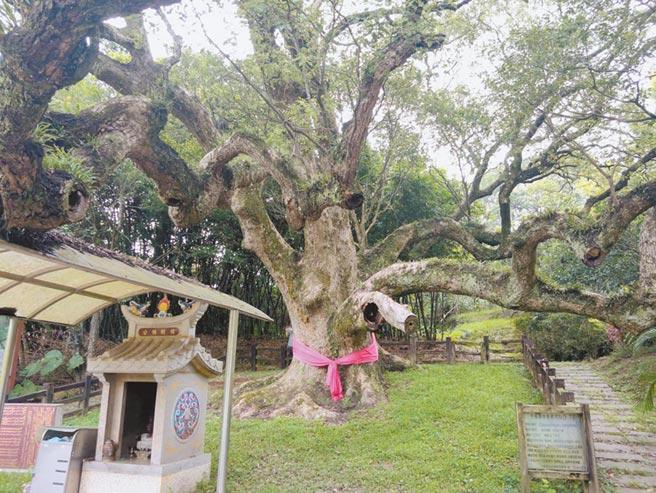 位於楊梅永寧的老樟樹已有764年的歷史,曾被桃園列為老樹,但當時樹木保護條例尚未發布,近期再度審查,17日通過保護審議會,正式列管為桃園老樹。(姜霏攝)