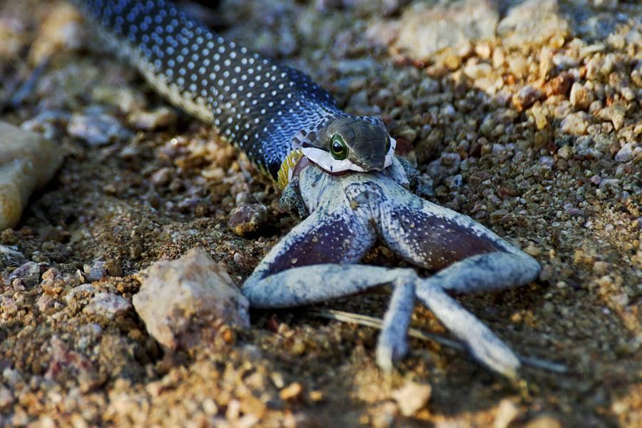 蛇疑似吃得太撐,蟾蜍只吞了一半就定格休息(示意圖/達志影像)