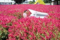 中社花市火焰雞冠花怒放 繁花似錦媲美「日本掃帚草」