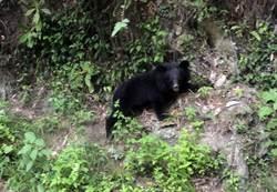 直擊》南橫公路驚見小黑熊萌樣爬山坡 可愛影片曝光