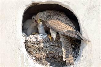 猛禽夫妇每日排班护蛋 出门觅食回家一看超心碎