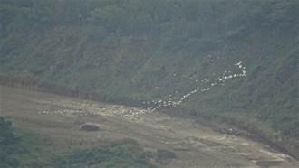 一年一度「白龍」報到! 古坑樟湖村黃頭鷺遷徙美景登場