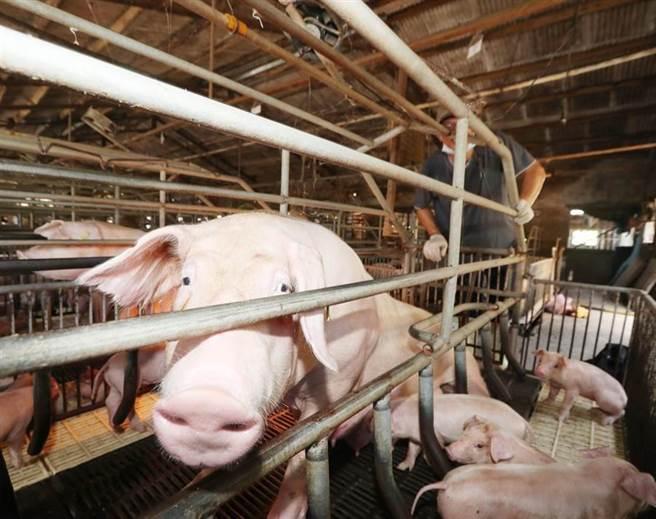 雖然將開放含有萊劑的美豬進口,但國內豬還是不能使用萊克多巴胺。(資料照,陳怡誠攝)