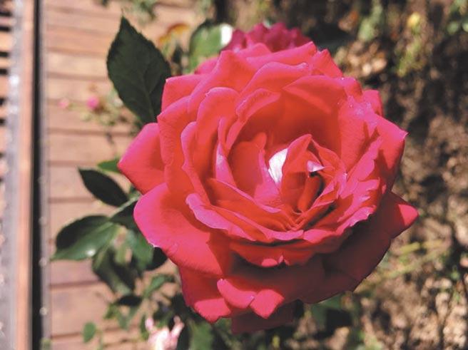 花團錦簇、奼紫嫣紅的「火焰之舞玫瑰花」等待您的鑑賞。(臺北市政府工務局公園路燈工程管理處提供)