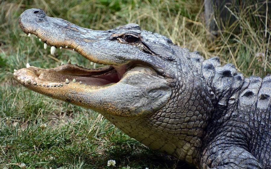 鱷魚大口猛嗑烏龜 下秒「落漆」呆站原地裝沒事(示意圖/達志影像)