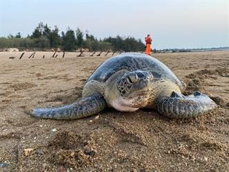 綠蠵龜擱淺小金門 2周來情況愈來愈好
