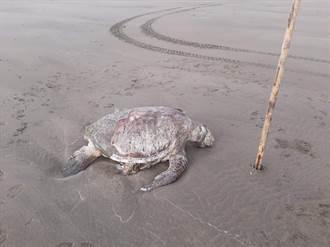 保育類動物二死 綠蠵龜、江豚同晚陳屍苗栗海邊
