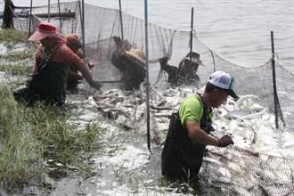 虱目魚產期到 氣候穩定盛產漁民卻怕滯銷