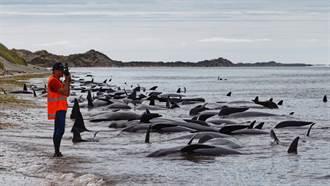 逾25死!270領航鯨沙灘待援 20年來最大規模擱淺意外