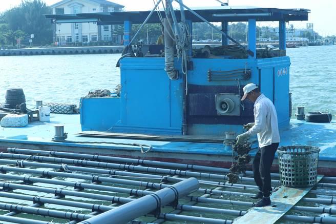 新型蚵棚採用聚氯乙烯(PVC)、高密度聚乙烯(HDPE)硬式管材。(李宜杰攝)