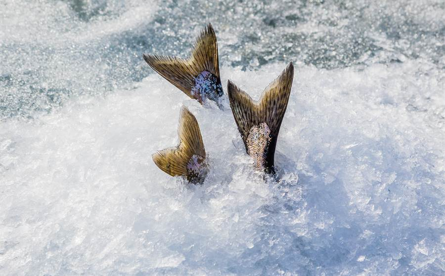 釣客驚見結冰湖面露出半截魚 切開取出一看竟有「大驚喜」(示意圖/達志影像)