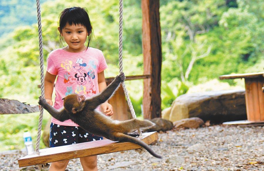 活蹦亂跳的殘障猴,是台東縣延平鄉「卡米莎度樹屋園區」的活寶,盪鞦韆更是牠拿手絕活。(莊哲權攝)