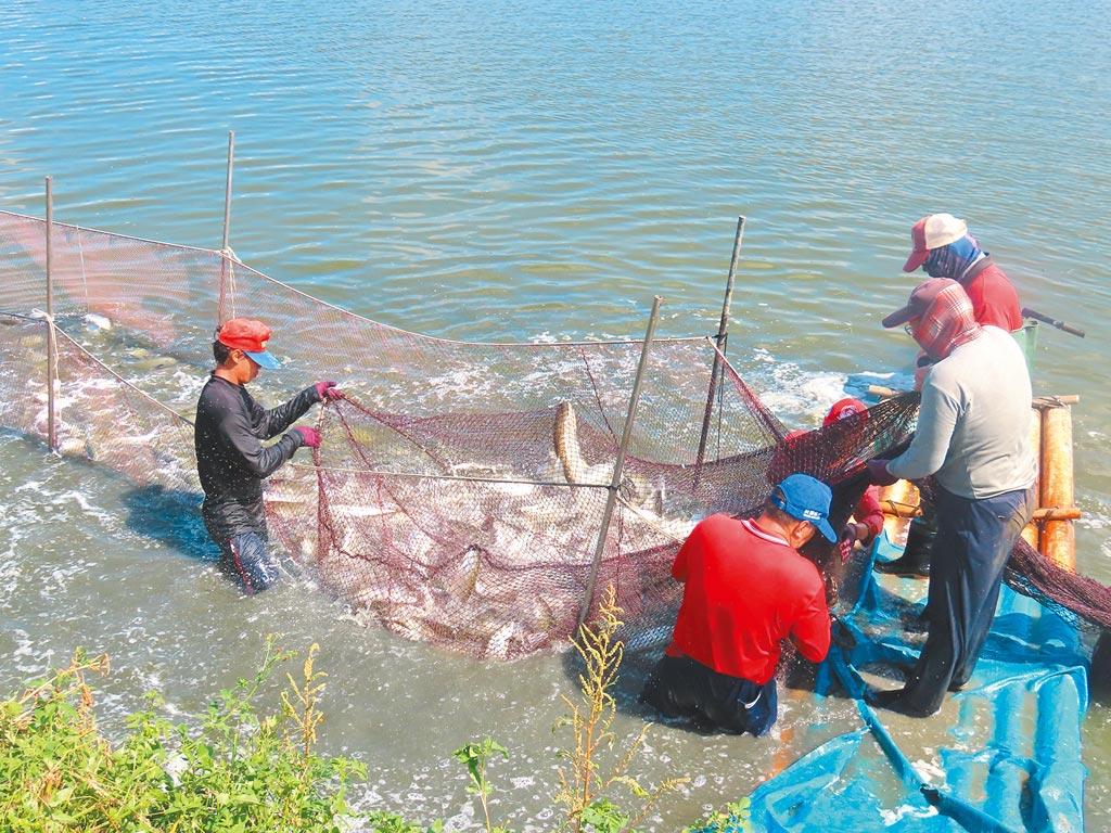 受到新冠肺炎疫情衝擊,虱目魚外銷大受影響,連帶衝擊到一般內銷收購價格。(本報資料照片)