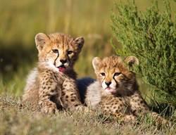 獵豹寶寶後腳站立勾頸撒嬌 臉貼淡定媽耳旁講悄悄話