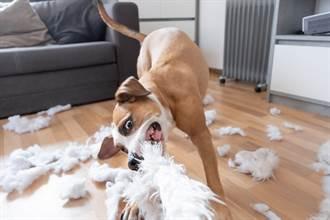 狗不聽話連遭5家庭退養 檢查後曝痛心原因:前主人全誤會