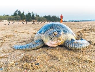 擱淺綠蠵龜 可望重返大海