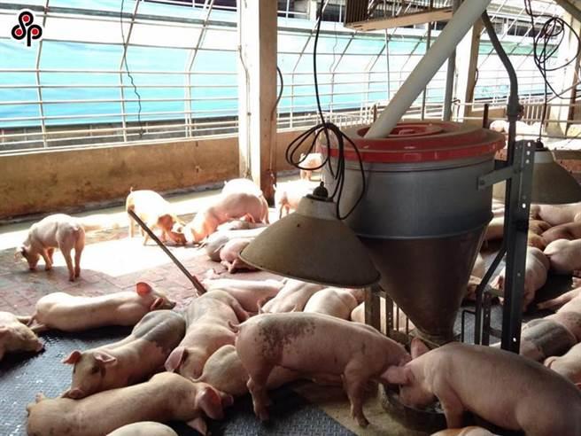 圖為國內養豬場一景。圖/本報系資料照