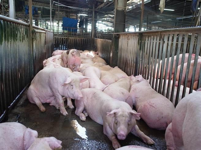 今年中秋節前因肉品市場豬隻交易量略增,價格平穩。(張朝欣攝)
