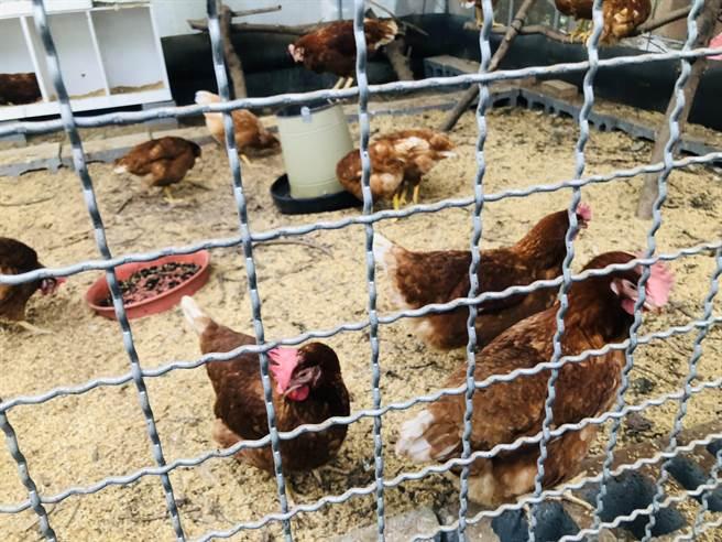 雞群們也愛搶食黑水虻。(吳康瑋攝)