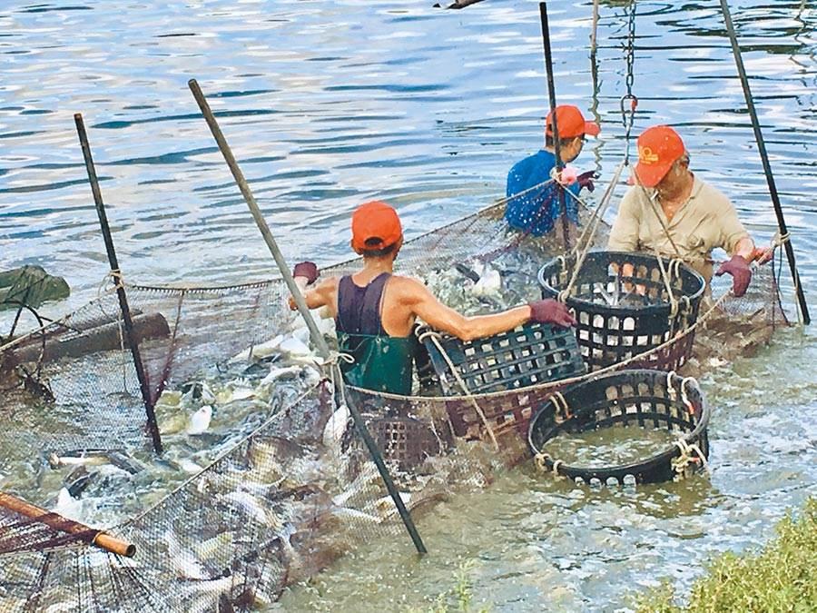 在新冠肺炎疫情衝擊下,虱目魚外銷急凍,根本賣不出去,盤商因不想收購,甚至喊出每台斤26元的低價,傳有漁民為換現金,含淚殺出。(本報資料照片)