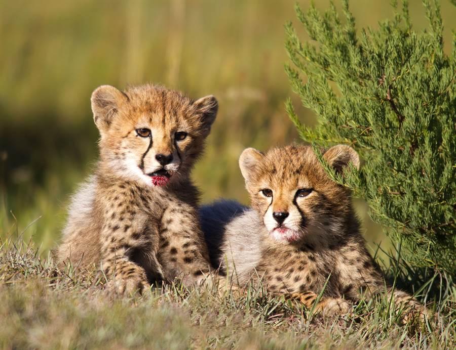 獵豹寶寶站起身向媽媽撒嬌(示意圖/達志影像)