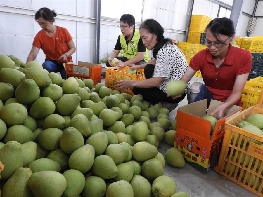 今年大坑的柚子特別甜果肉細緻,產量穩定、品質更佳,絕對不輸給其他地區的柚子。(陳世宗攝)