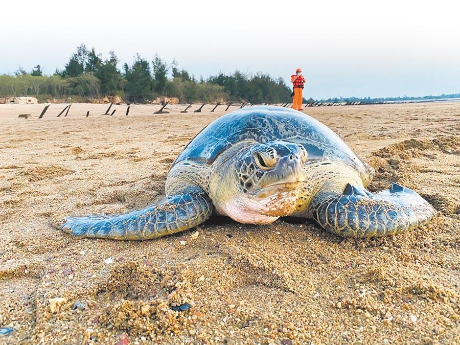 在小金門擱淺獲救的綠蠵龜,在縣水試所照料下健康情況好轉。(金門縣水試所提供/李金生金門傳真)