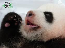 貓熊圓寶長牙了 睜圓滾滾大眼「露2顆小犬齒」超萌