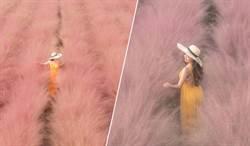韓國爆紅「粉黛亂子草」 不用出國這裡也看得到
