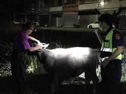 脫逃水牛暗夜睡路旁占道路 警急尋飼主領回